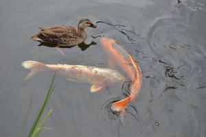 鴨と鯉 Duck and Koi fish