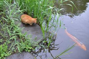 猫と鯉 Cat and Koi fish