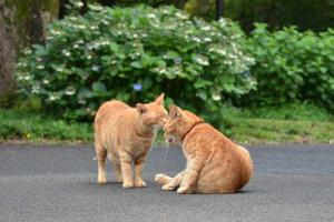 キス猫 Cat Brothers Kissing
