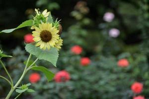 夏の花 Summer Flowers