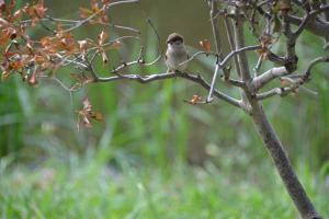 スズメ Sparrow