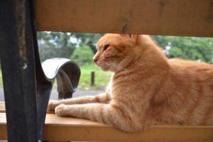茶トラ猫 愛ちゃん Ai-chan The Cat on Bench