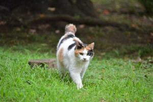 Sakura-chan - Japanese Bobtail Cat
