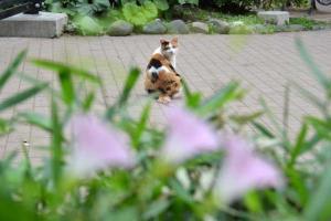 ヒルガオ猫 Cat over False Bindweeds