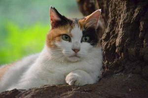 三毛猫さくら Sakura-chan The Calico Cat