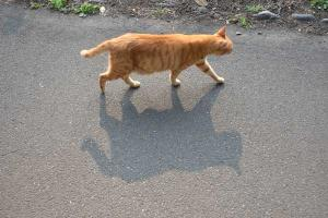 Cat Shadow Walking