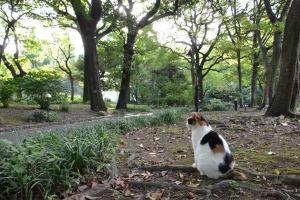 三毛猫さくら Sakura-chan The Calico Cat