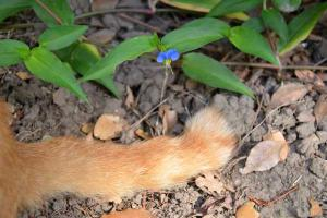 Ginger Tail and a Tiny Blue Flower
