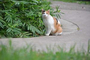 三毛猫 Calico Cat