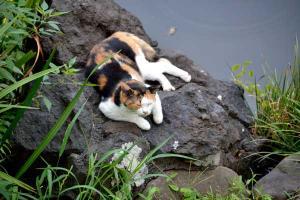 涼み猫 Cat Cooling Down By The Pond