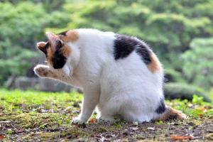 三毛猫さくら Japanese Bobtail Cat
