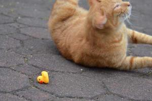 Cat and Rubber Duck