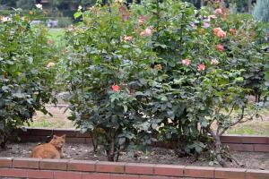 Ai-chan The Cat in Summer Rose Garden