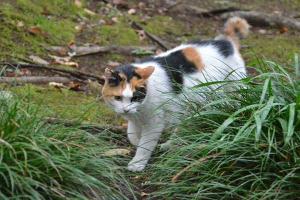 Sakura-chan, Japanese Bobtail Cat