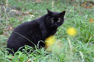 Black Cat and Yellow Flowers