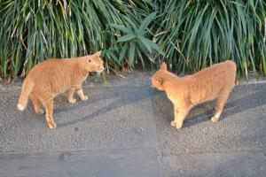 Ai-chan The Cat Facing Off