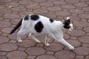 A Black and White Cat Walking