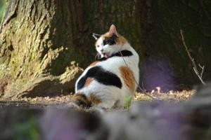 Sakura-chan The Japanese Bobtail Cat