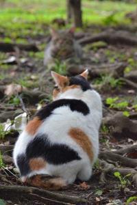 Sakura-chan The Cat Facing Off