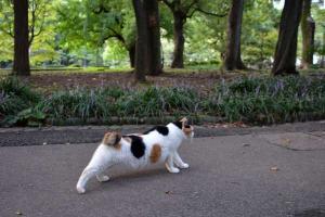 Sakura-chan The Japanse Bobtail Cat