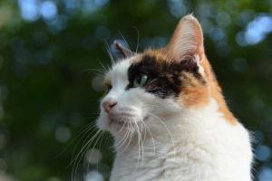 Sakura-chan The Japanse Calico Cat