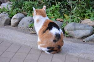 Calico Cat From Behind