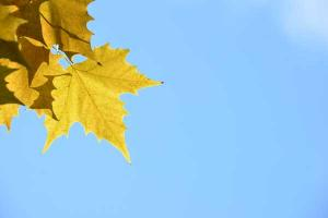 Platanus (Plane Tree) Leaf in Autumn Colors