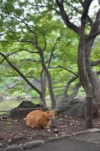 Ai-chan The Cat Under Momiji Maple Trees