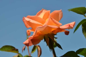 October Rose Against The Sky