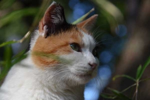 Sakura-chan The Japanse Calico Cat