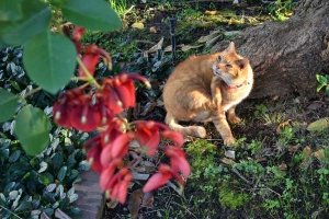 Ai-chan The Japanese Ginger Cat and Cockspur Cral Tree Flowers