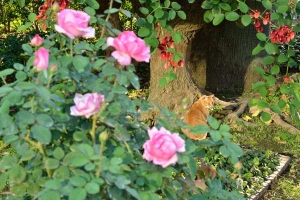 Ai-chan The Japanese Ginger Cat Through Pink Roses