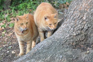 Ai-chan The Japanese Ginger Cat and His Brother