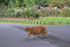 Cat Waking By Rose Garden