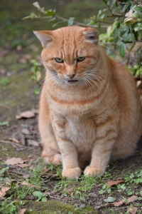 Japanese Ginger Cat