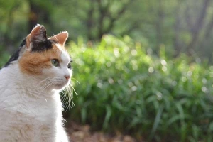 Sakura-chan The Japanese Calico Cat
