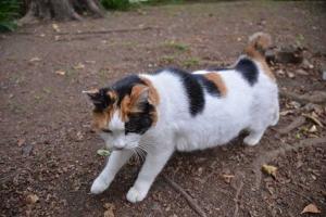 Sakura-chan The Japanese Bobtail Cat