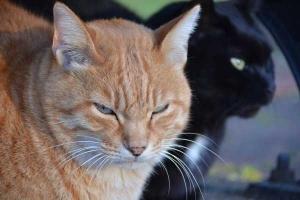 Cat Duo