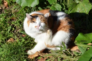 Calico Cat Itchying