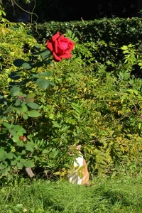 Cat and Red Rose In The Morning Sunlight