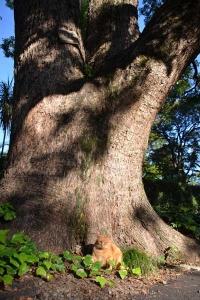 Cat under Kusunoki Tree