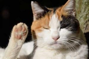 Sakura-chan The Cat - High Paw