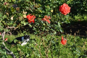 Cat and Roses In The Sun