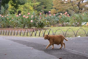 Ai-chan The Cat Passing By Rose Garden