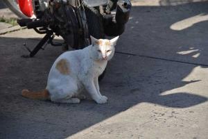 Street Cat, Surin, Thailand