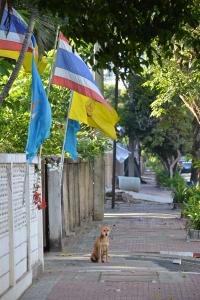 Street Dog, Surin, Thailand