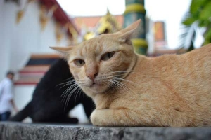Temple Cats, Bangkok, Thailand