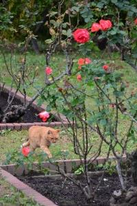 Cat In Rose Garden