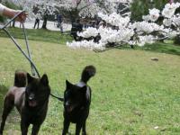 桜と芽衣ケン