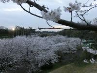 公園の桜3